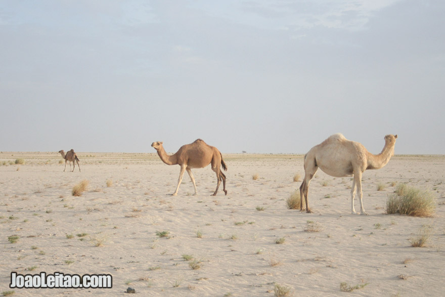 Camels in Mauritania