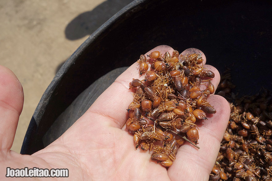 Termites for food in the jungle