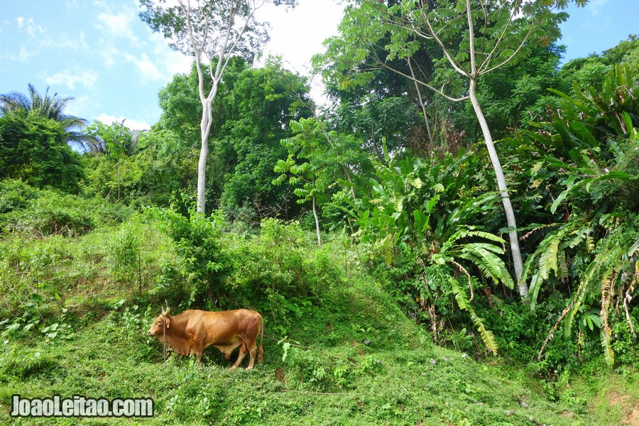 Cow in Charlotteville