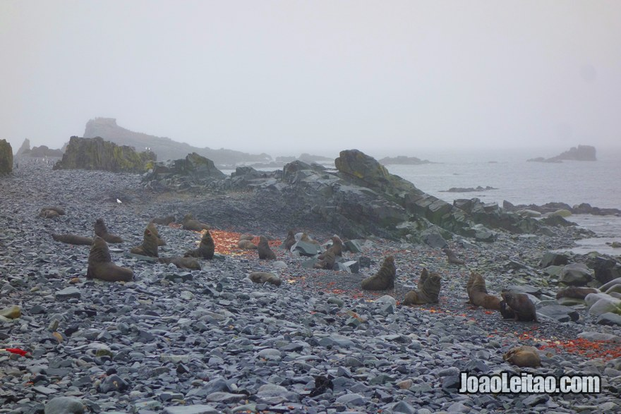 Antarctic Fur Seals on the beach in Half Moon Island