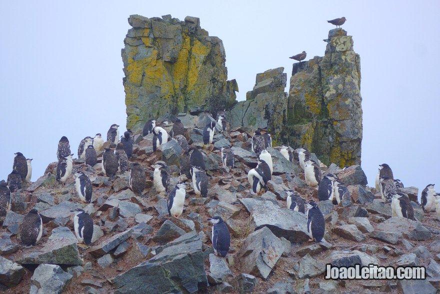 Chinstrap Penguin colony in Antarctica