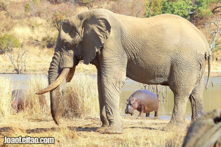 Elephant and Hippos in South Africa