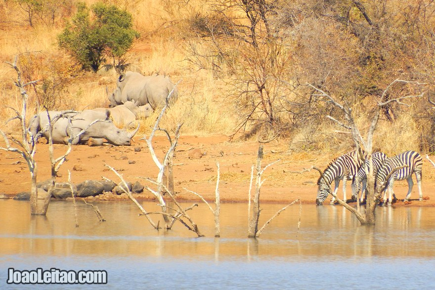 Zebras and Rhinos in South Africa