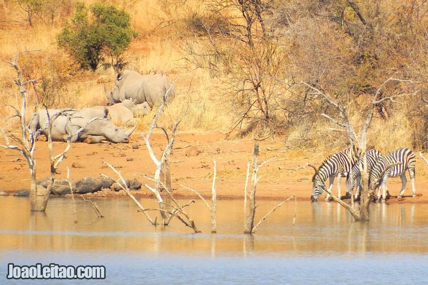 Zebras e rinocerontes na África do Sul