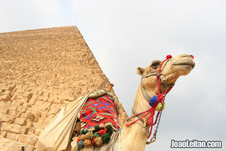 Camel in front of the Pyramid of Menkaure