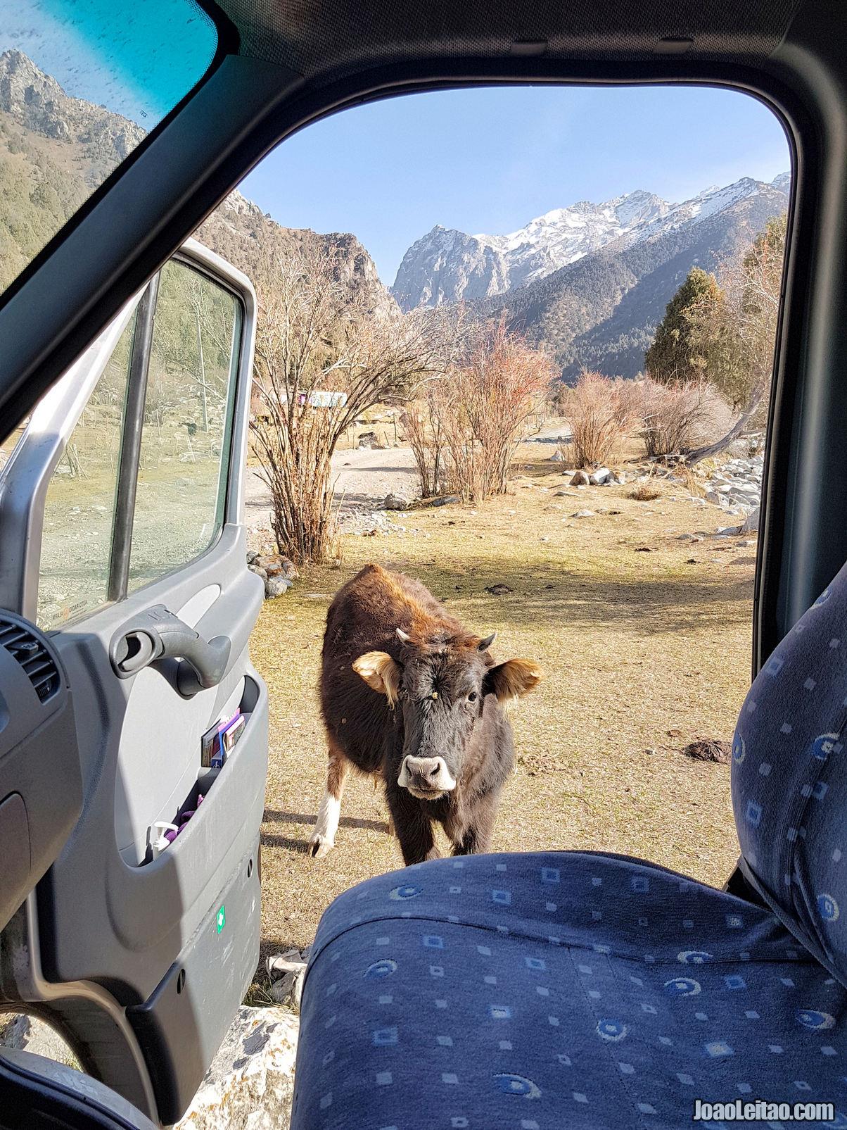 Uma vaca simpática no Parque Nacional Kyrgyz-Ata