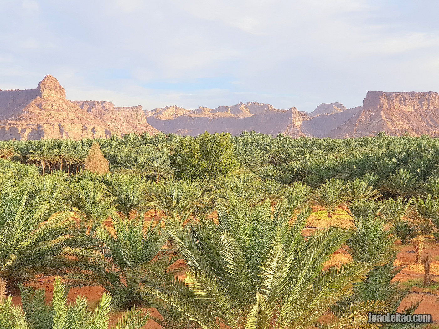PALM GROVE IN SAUDI ARABIA