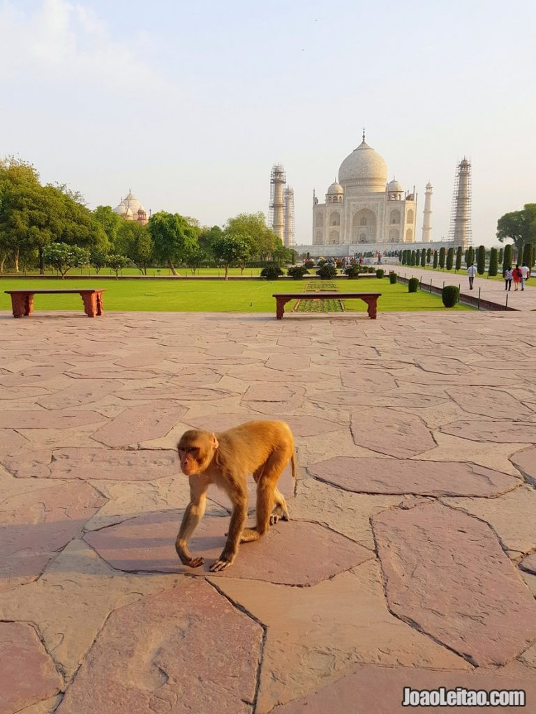 Monkey in the Taj Mahal