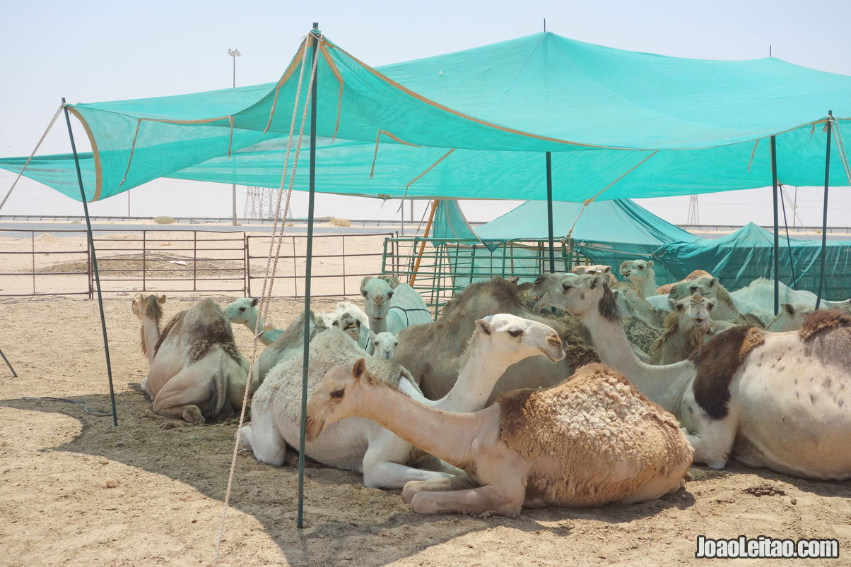 Camel Farms in Kuwait