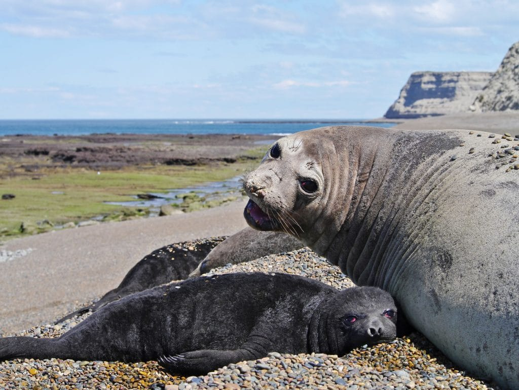 Sea elephants rest on the beach during the low tide near Puerto Madryn
